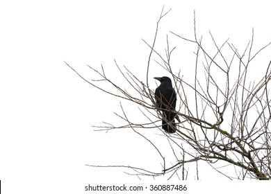 Silhouette of a crow on a tree isolated on white