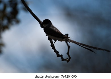 Silhouette of a Cute bird. Fork-tailed Flycatcher perched on a branch of black pine against blurred background. Brasilia, Brazil.