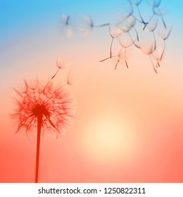 Silhouette of dandelion against the backdrop of the setting sun. Macro photography wuth place for text. Living Coral. Trendy color of the 2019.
