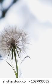 Silhouette of a dandelion. Large kozloborodnika flower on a light background