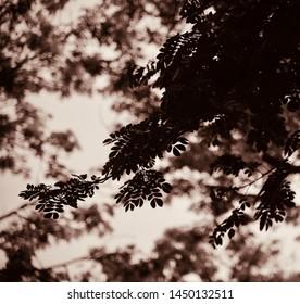 Silhouette dark tree leaves isolated unique photo
