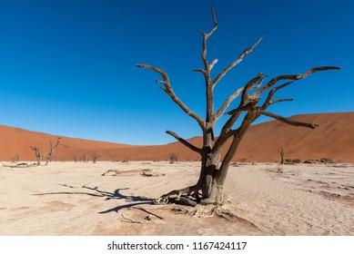 Silhouette of dead trees in white deadvlei pan, Sossusvlei, Namib Naukluft National Park Namibia