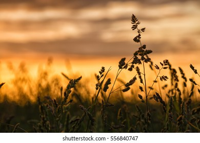 Silhouette detail of grass seed plants standing against summer sunset.