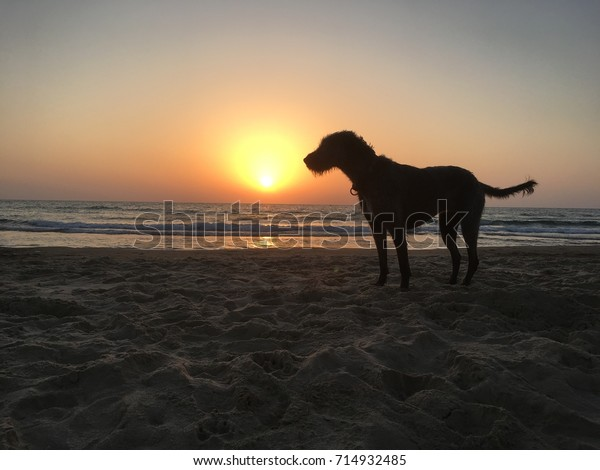 Silhouette of a dog at the beach at sunset