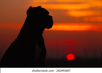 Silhouette of a dog at sunset. Italian Cane Corso dog.