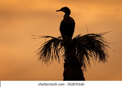 Silhouette of a Double-crested Cormorant (Phalacrocorax auritus) Roosting on a Palm Tree at Sunset - Viera Wetlands, Florida