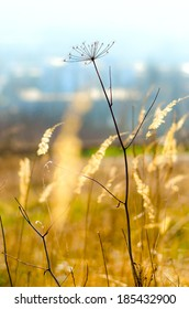 A silhouette of a dried cumin (Carum carvi) plant in the warm early spring sunlight with yellow meadow plants and blue blurred city background.