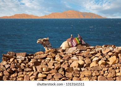Silhouette dromedar camel on the background of the mountain of St. Moses, Egypt, Sinai. Red Sea in the background.