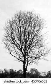 Silhouette of dry tree