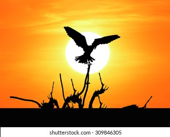 silhouette eagle flying  catch dead tree with sunset background ,be arid