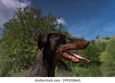 Silhouette eines braunen Dobermann Hund der hechelt an einem schönen sonnigen Tag mit blauem Himmel und weißen Wolken