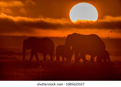 Silhouette of an Elephant family in Sunrise shot at Amboseli National Park.   Herd of Elephants on a morning walk at Amboseli.