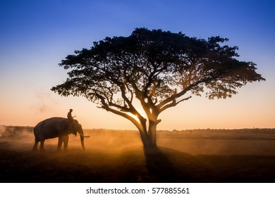 Silhouette elephant on the background of sunset in  surin thailand.