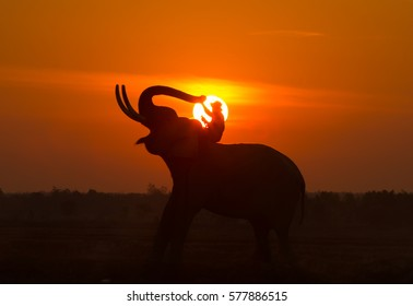 Silhouette elephant on the background of sunset,elephant thai in  surin thailand.