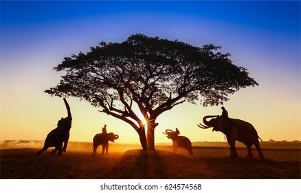 Silhouette elephant on the background of sunset,surin thailand