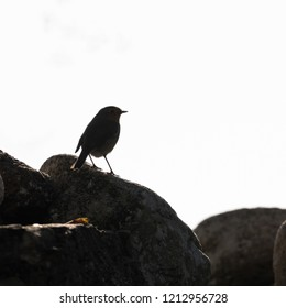 Silhouette of an European Robin sitting on a rock