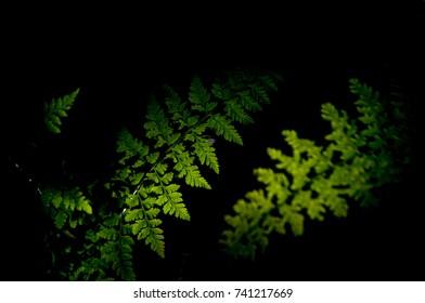 Silhouette of a fern leaf on a black background
