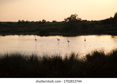 Silhouette of flamingos in the water, summer evening in Camargue, France.
