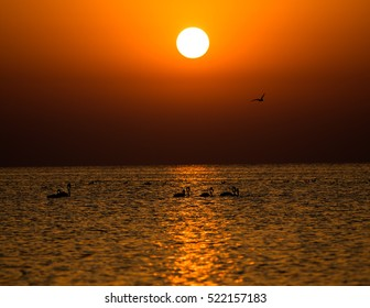 Silhouette of Flamingos(Phoenicopterus) in the Golden hours at the sunrise- Bahrain