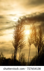 Silhouette of Flower grass in the summer with sunlight.