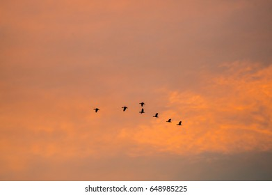silhouette flying ducks with beautiful sunset sky