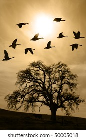 Silhouette of flying geese over aged bare oak tree in Winter, San Joaquin Valley, California..