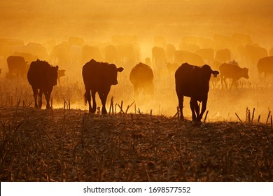 Silhouette of free-range cattle walking on dusty field at sunset, South Africa