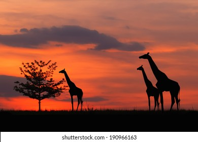 Silhouette of a giraffe eating leaves at twilight.