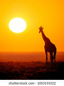 Silhouette of a Giraffe walking towards a golden sunrise on the plains of Africa