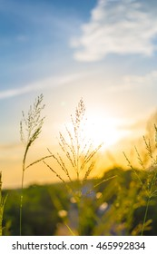 Silhouette grass flowers on the field with flare light, Beautiful summer landscape, Soft focus