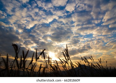 The silhouette of grass on a bright sky background in the morning sunrise.