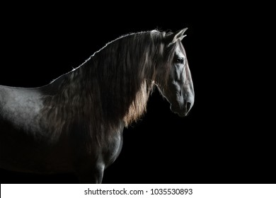 Silhouette of a gray Andalusian horse with long mane isolated on black background