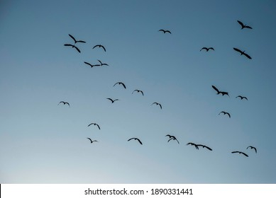 Silhouette of Gray Herons in flight with blue sky