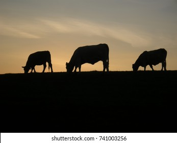 Silhouette of grazing cows  on the horizon at dawn, sunset, sky. Farm,countryside, relaxing nature.