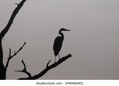 Silhouette of great blue heron standing on a bare tree branch
