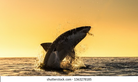 Silhouette of  Great White Shark in jump.  Sunrise sky on the background.  Great White Shark  breaching in an attack. Scientific name: Carcharodon carcharias. South Africa