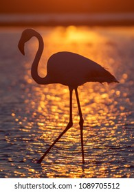 Silhouette of Greater Flamingo (Phoenicopterus roseus) in Camargue, France