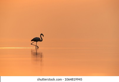 Silhouette of Greater Flamingos in the morning, Asker, Bahrain