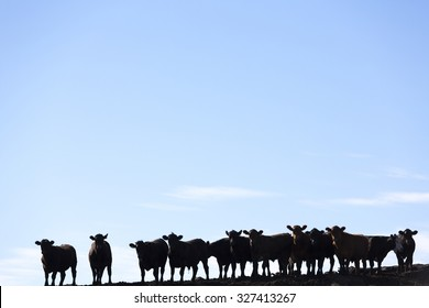 Silhouette of a group of brown cows looking at the camera in a farm land in Uruguay against a blue sky. This is the result of intensive livestock business in South America 2014.