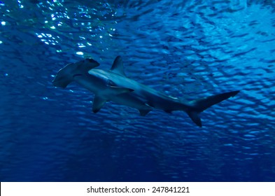 Silhouette of hammerhead shark in the water