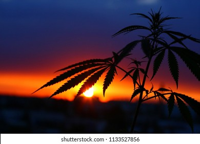 Silhouette of hemp and marijuana before harvest in sunlight. Ganja, cannabis blurred background with warm shades of setting sun