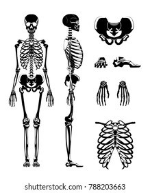 silhouette of human skeleton. Anatomy pictures. Different bones skeleton anatomy, human skull illustration