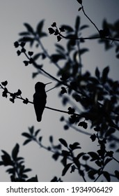 Silhouette of Anna's Hummingbird with its head to the side perched on a thin branch.