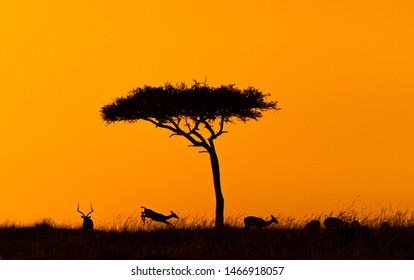 Silhouette of impala jumping around acacia tree in Kenya, Africa at golden orange sunset