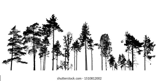 Silhouette Isolated, Black and White Old and tall Norway spruce tree the evergreen tree and standing tall in the wood isolated on white background. Halloween trees. Clipping Path.