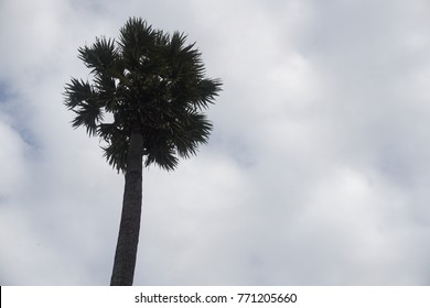 Silhouette isolated toddy palm(doub,palmyra,tala, wine) or Borassus flabellifer in scientific name on white cloudy sky
