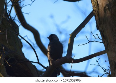 Silhouette of a jackdaw bird from behind sitting on a tree