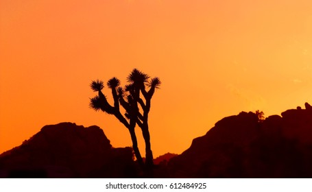 Silhouette of joshua tree, Joshua Tree National Park, California, USA