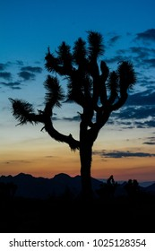 Silhouette of a joshua tree at sunset in Joshua Tree National Park.