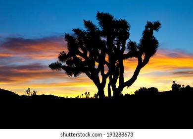 Silhouette of Joshua Trees against colorful sunset background - Joshua Tree National Park, California